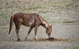 Poo dos cavalos selvagens de bacia de lavagem da areia Fotos de Stock