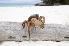 Poo Kai crab in Tachi island southern of thailand Stock Image