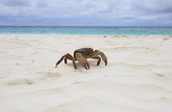 Poo kai crab on white sand beach of tachai island similan nation Royalty Free Stock Photo