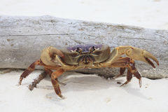 Poo kai crab on white sand beach of tachai island similan nation Royalty Free Stock Image