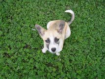 Pooch. Puppy pooch on green grass Royalty Free Stock Photo