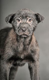 Pooch black puppy Stock Photography