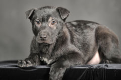 Pooch black puppy Royalty Free Stock Photo