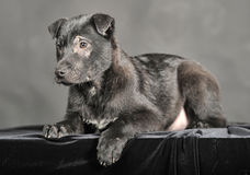 Pooch black puppy Stock Photo