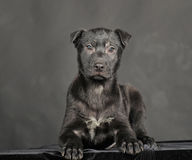 Pooch black puppy Royalty Free Stock Photography