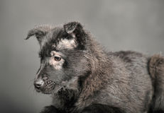 Pooch black puppy Stock Image