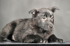 Pooch black puppy Royalty Free Stock Image