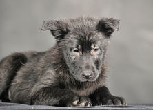 Pooch black puppy Stock Photos
