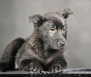 Pooch black puppy Stock Images