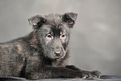 Pooch black puppy Royalty Free Stock Photos