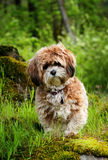 Pooch Royalty Free Stock Image