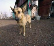 pooch Grande cane rosso il cane nell'iarda Immagini Stock