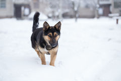 Pooch saunters in the yard. Royalty Free Stock Image