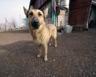 pooch Stor röd hund hunden i gården Arkivfoton