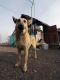pooch Stor röd hund hunden i gården Arkivbilder