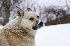 Pooch in the winter, the snow sits and grieves, friendship. Pooch in the winter, the snow sits and grieves, loyalty and friendship Royalty Free Stock Photo