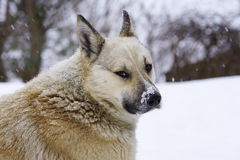 Pooch in the winter, the snow sits and grieves, friendship. Pooch in the winter, the snow sits and grieves, loyalty and friendship Royalty Free Stock Photos