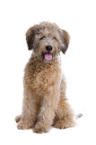 Pooddle mongrel dog Stock Photography