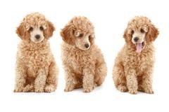 poodle βερίκοκων κουτάβι τρία στοκ εικόνα με δικαίωμα ελεύθερης χρήσης