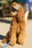 Poodle βερίκοκων στα γυαλιά ηλίου Στοκ φωτογραφίες με δικαίωμα ελεύθερης χρήσης