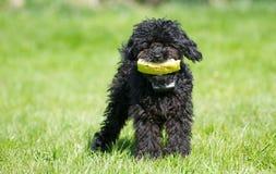 poodle καρπούζι παιχνιδιών κουταβιών στοκ εικόνα