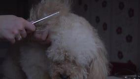 Poodle καλλωπισμός στο σαλόνι για τα σκυλιά απόθεμα βίντεο