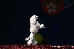 poodle λευκό Στοκ φωτογραφία με δικαίωμα ελεύθερης χρήσης