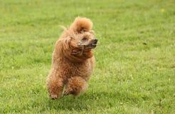 Poodle παιχνιδιών τρεξίματα πέρα από το λιβάδι Στοκ εικόνα με δικαίωμα ελεύθερης χρήσης