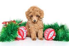 Poodle παιχνιδιών Χριστουγέννων κουτάβι Στοκ Εικόνες