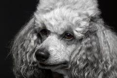 Poodle πορτρέτου κινηματογραφήσεων σε πρώτο πλάνο στοκ εικόνες με δικαίωμα ελεύθερης χρήσης