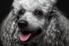 Poodle πορτρέτου κινηματογραφήσεων σε πρώτο πλάνο στοκ εικόνες