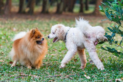 Poodle που κάνει το σύμβολο για να δηλώσει το έδαφός του στοκ φωτογραφία με δικαίωμα ελεύθερης χρήσης