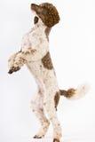 Poodle που στέκεται στα οπίσθια πόδια Στοκ Φωτογραφία