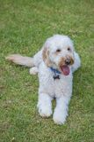 Poodle σκυλί, κουτάβι, poodle παιχνίδι σκυλιών κουταβιών έξω Στοκ εικόνες με δικαίωμα ελεύθερης χρήσης