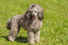 Poodle σκυλί στο πράσινο πάρκο Στοκ εικόνα με δικαίωμα ελεύθερης χρήσης