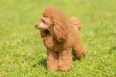 Poodle σκυλί στο πράσινο πάρκο Στοκ Εικόνες