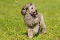 Poodle σκυλί στο πράσινο πάρκο Στοκ φωτογραφία με δικαίωμα ελεύθερης χρήσης