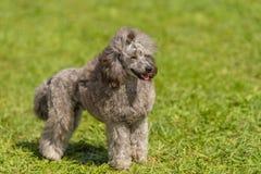 Poodle σκυλί στο πράσινο πάρκο Στοκ εικόνες με δικαίωμα ελεύθερης χρήσης