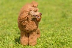 Poodle σκυλί στο πράσινο πάρκο Στοκ Φωτογραφία