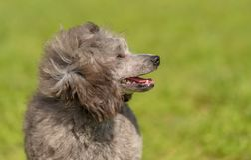Poodle σκυλί στο πράσινο πάρκο Στοκ Φωτογραφίες