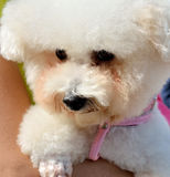 Poodle σκυλί με τους ανθρώπους Στοκ Φωτογραφίες