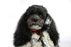 Poodle σκυλί με το αναδρομικό τηλέφωνο Στοκ Φωτογραφίες