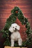 Poodle στη γιορτή Χριστουγέννων Στοκ Εικόνες