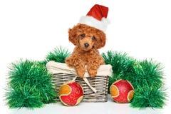 Poodle Χριστουγέννων κουτάβι Στοκ Φωτογραφία