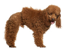 Poodle, 1 year old, standing Stock Image
