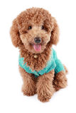 Poodle. A lovely toy poodle with white background Stock Images