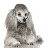 Poodle (13 months) royalty free stock photography