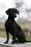 Poodle Stock Photo