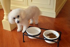 Poodle. This is a picture of a poodle, close to its water and food Royalty Free Stock Photos