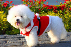 Poodle. Wearing a Santa Claus Clothes Royalty Free Stock Images